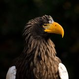 Steller's sea eagle Stock Images