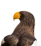 Steller's sea eagle Stock Photos