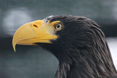Steller's sea eagle Royalty Free Stock Photos
