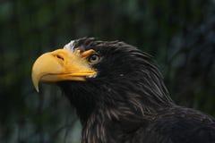 Steller's sea eagle (Haliaeetus pelagicus) Stock Image