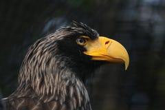 Steller's sea eagle (Haliaeetus pelagicus) Stock Images