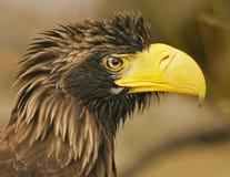 Steller´s sea-eagle Stock Photos