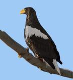 Steller`s sea eagle Haliaeetus pelagicus Royalty Free Stock Images