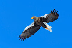 Steller's sea eagle, Haliaeetus pelagicus, flying bird of prey, with blue sky in background, Hokkaido, Japan. Steller's sea eagle, Haliaeetus pelagicus, flying Stock Photography