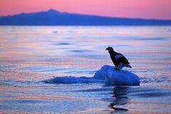 Steller`s sea eagle, Haliaeetus pelagicus, morning sunrise, Hokkaido, Japan. Eagle floating in sea on ice. Wildlife behaviour sce. Ne Stock Photos