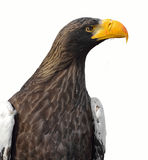 Steller`s sea eagle Haliaeetus pelagicus. Portrait Stock Photos