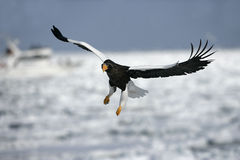 Steller's sea-eagle, Haliaeetus pelagicus Stock Photos