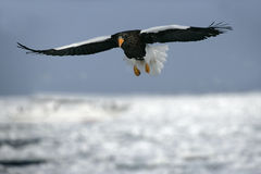 Steller's sea-eagle, Haliaeetus pelagicus Royalty Free Stock Photos