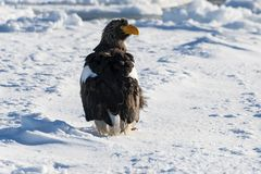 Steller`s sea-eagle, Haliaeetus pelagicus, single bird on ice fl. Steller`s Sea Eagle standing on pack ice Royalty Free Stock Image