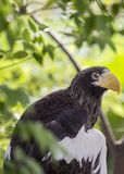 Steller`s sea eagle Haliaeetus pelagicus Royalty Free Stock Image