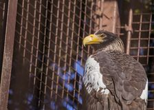 Steller`s sea eagle Haliaeetus pelagicus Royalty Free Stock Photography
