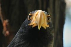 Steller's sea eagle (Haliaeetus pelagicus). Royalty Free Stock Image