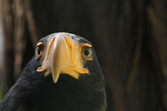 Steller's sea eagle (Haliaeetus pelagicus). Royalty Free Stock Photo