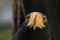 Steller's sea eagle (Haliaeetus pelagicus). stock photo
