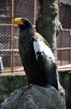 Steller´s sea-eagle. Steller´s sea-eagle- ( Haliaeetus pelagicus ) in the zoo Stock Photography