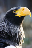 Steller´s sea-eagle - head stock image