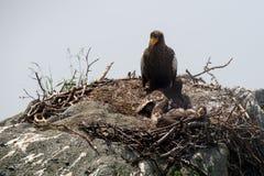 Steller's sea eagle Stock Photos