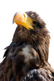 Steller's sea eagle isolated. Erne bird isolated on a white background Stock Photo