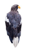 Steller's sea eagle. Isolated over white Royalty Free Stock Images