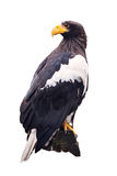 Steller's sea eagle   over white Royalty Free Stock Photo