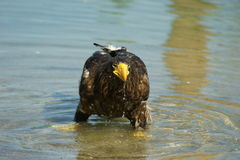 Steller's sea eagle in pond stock images