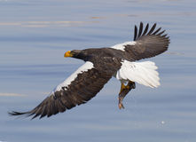 Steller's sea eagle with prey. Steller's sea eagle flying over the sea with prey in its claws. The largest bird of prey of the northern hemisphere royalty free stock photos