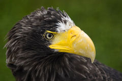 Steller's Sea Eagle's portrait. Portrait of rare bid of prey Stock Photos