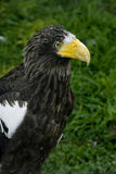 Steller's Sea Eagle's portrait. Portrait of rare bid of prey Royalty Free Stock Photography