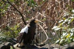 Steller`s sea eagle royalty free stock image