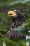 Steller's Sea-eagle Royalty Free Stock Image