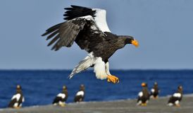 Steller`s sea eagle spread his wings. Adult Steller`s sea eagle. Steller`s sea eagle spread his wings. Adult Steller`s sea eagle Haliaeetus pelagicus Royalty Free Stock Image