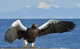 Steller`s sea eagle spread his wings. Haliaeetus pelagicus. Steller`s sea eagle spread his wings. Adult Steller`s sea eagle Haliaeetus pelagicus Royalty Free Stock Photo
