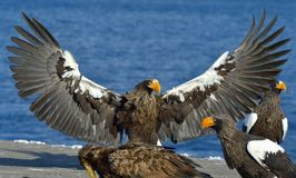 Steller`s sea eagle spread his wings. Haliaeetus pelagicus. Steller`s sea eagle spread his wings. Adult Steller`s sea eagle Haliaeetus pelagicus Royalty Free Stock Photos