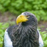 Steller`s sea eagle in Walsrode Bird Park, Germany. Adult head. Large bird of prey. Haliaeetus pelagicus stock images