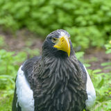 Steller`s sea eagle in Walsrode Bird Park, Germany. Close up. Steller`s sea eagle in Walsrode Bird Park, Germany. Large bird of prey. Haliaeetus pelagicus. Close stock image