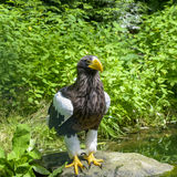 Steller`s sea eagle in Walsrode Bird Park, Germany. Large bird of prey. Haliaeetus pelagicus. Square Stock Image