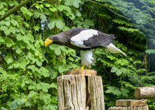 Steller`s sea eagle in Walsrode Bird Park, Germany. Large bird of prey. Horizontal. Steller`s sea eagle in Walsrode Bird Park, Germany. Large bird of prey stock image
