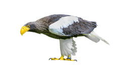 Steller`s sea eagle in Walsrode Bird Park. Horizontal. Isolated. Steller`s sea eagle in Walsrode Bird Park, Germany. Large bird of prey. Haliaeetus pelagicus Stock Image