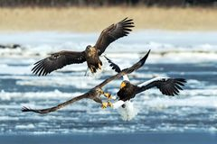 Steller`s sea eagle and white-tailed eagle fighting over fish, Hokkaido, Japan, majestic sea raptors with big claws and beaks,. Wildlife scene from nature stock image