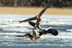 Steller`s sea eagle and white-tailed eagle fighting over fish, Hokkaido, Japan, majestic sea raptors with big claws and beaks,. Wildlife scene from nature stock photo