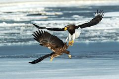 Steller`s sea eagle and white-tailed eagle fighting over fish, Hokkaido, Japan, majestic sea raptors with big claws and beaks,. Wildlife scene from nature stock images