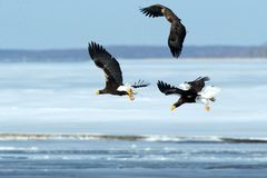 Steller`s sea eagle and white-tailed eagle in flight, Hokkaido, Japan, majestic sea raptors with big claws and beaks, wildlife. Scene from nature,birding stock image