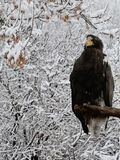 Steller's sea eagle in winter Royalty Free Stock Photography
