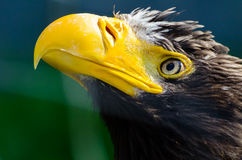 Steller's sea eagle. A Steller's sea eagle  in the zoo Royalty Free Stock Photo