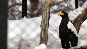 Steller's sea eagle stock footage