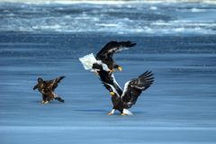 Steller`s sea eagles fighting over fish, Hokkaido, Japan, majestic sea raptors with big claws and beaks, wildlife scene from. Nature,birding adventure in Asia royalty free stock photography