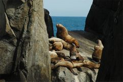 Steller's Sea Lion 2. A Steller's male with his females Royalty Free Stock Photos