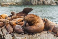 Steller`s Sea Lions, Kenai Fjords National Park, Alaska. Stock Photos