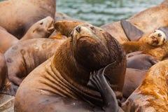 Steller`s Sea Lions, Kenai Fjords National Park, Alaska. Stock Image