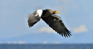 Steller-` s Seeadler im Flug Hintergrund des blauen Himmels lizenzfreie stockbilder